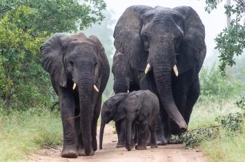 Elephant (23)-s
